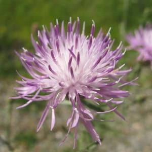 - Centaurea stoebe L. [1753]