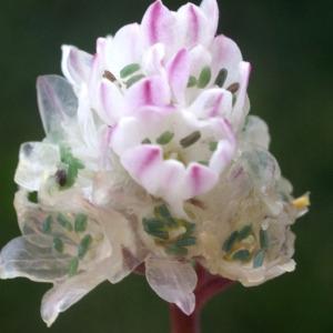 Brimeura fastigiata (Viv.) Chouard (Jacinthe de Pouzolz)