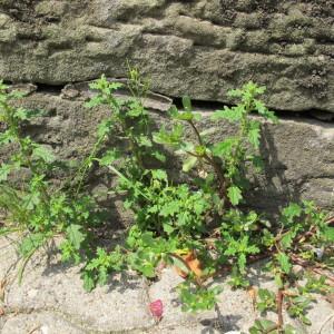 Photographie n°98301 du taxon Chenopodium pumilio R.Br.