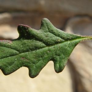 Dysphania pumilio (R.Br.) Mosyakin & Clemants (Chénopode couché)
