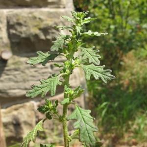 Photographie n°98304 du taxon Chenopodium pumilio R.Br.