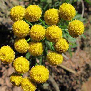 Tanacetum vulgare L. (Tanaisie)