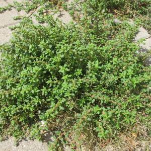 Photographie n°98341 du taxon Chenopodium pumilio R.Br.