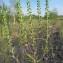 Hugues TINGUY - Ambrosia artemisiifolia L.