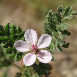 Erodium lebelii Jord. (Bec-de-cigogne visqueux)
