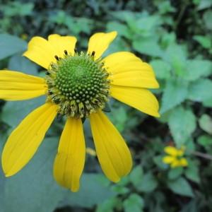 Photographie n°98425 du taxon Rudbeckia laciniata L. [1753]