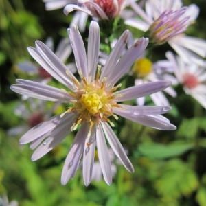 Symphyotrichum lanceolatum (Willd.) G.L.Nesom [1995] (Aster à feuilles lancéolées)