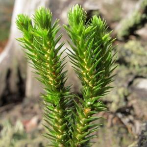 Huperzia selago (L.) Bernh. ex Schrank & Mart. (Lycopode sabine)