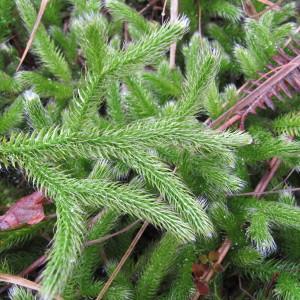 Lycopodium clavatum L. (Lycopode en massue)