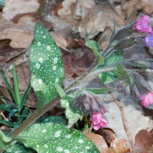 Photographie n°98503 du taxon Pulmonaria officinalis L.