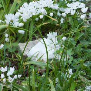 Photographie n°98525 du taxon Allium neapolitanum Cirillo