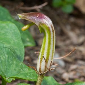 Arisarum vulgare O.Targ.Tozz. (Arisarum)