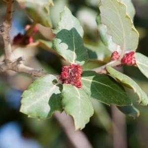 Photographie n°98541 du taxon Quercus suber L. [1753]