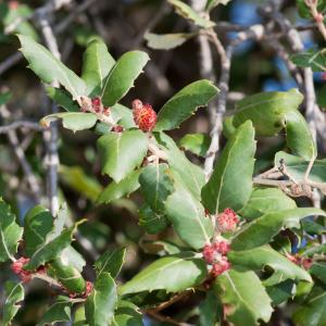 Photographie n°98542 du taxon Quercus suber L. [1753]