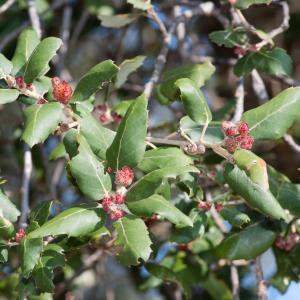 Photographie n°98543 du taxon Quercus suber L. [1753]