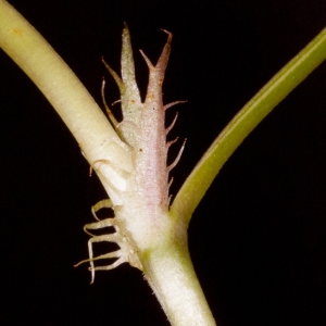 Photographie n°98548 du taxon Viola riviniana Rchb.