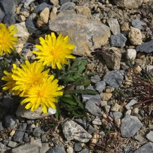 Hieracium piliferum Hoppe (Épervière à poils)