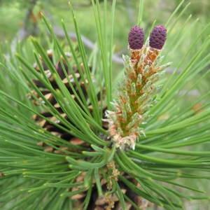 Photographie n°98628 du taxon Pinus nigra subsp. nigra