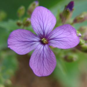 Photographie n°98688 du taxon Lunaria annua L.