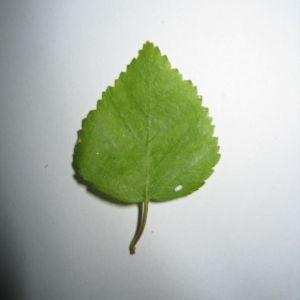 Photographie n°98700 du taxon Betula pubescens Ehrh. [1791]
