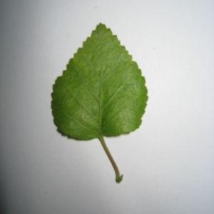 Photographie n°98703 du taxon Betula pubescens Ehrh. [1791]