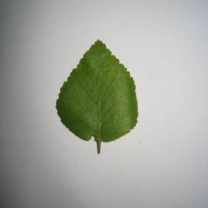 Photographie n°98704 du taxon Betula pubescens Ehrh. [1791]