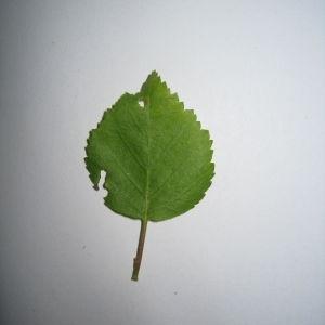 Photographie n°98705 du taxon Betula pubescens Ehrh. [1791]