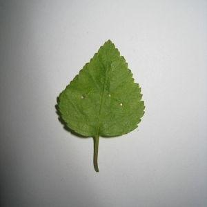 Photographie n°98708 du taxon Betula pubescens Ehrh. [1791]