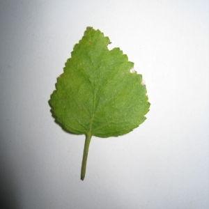 Photographie n°98709 du taxon Betula pubescens Ehrh. [1791]