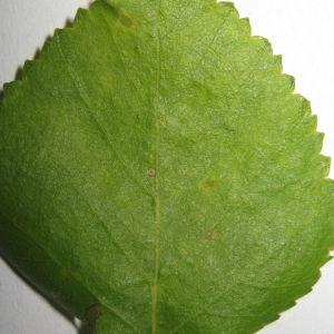 Photographie n°98710 du taxon Betula pubescens Ehrh. [1791]