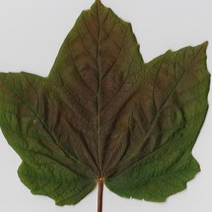 Photographie n°98886 du taxon Acer opalus Mill.