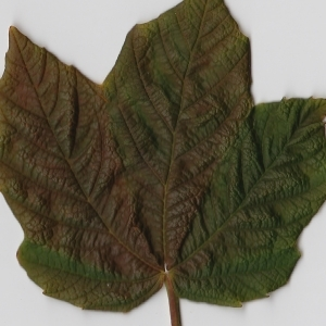 Photographie n°98887 du taxon Acer opalus Mill.