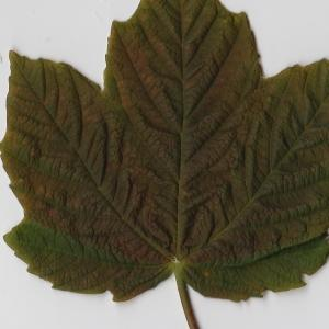 Photographie n°98889 du taxon Acer opalus Mill.