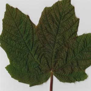 Photographie n°98890 du taxon Acer opalus Mill.