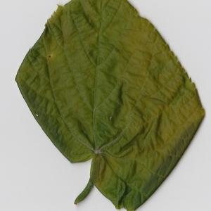 Photographie n°99005 du taxon Tilia platyphyllos Scop. [1771]