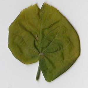 Photographie n°99007 du taxon Tilia platyphyllos Scop. [1771]
