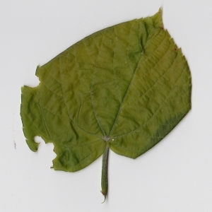 Photographie n°99008 du taxon Tilia platyphyllos Scop. [1771]