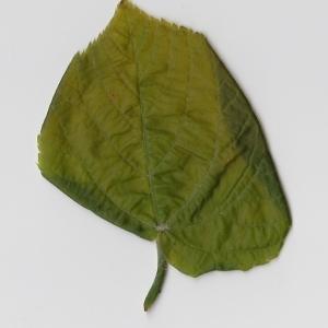 Photographie n°99009 du taxon Tilia platyphyllos Scop. [1771]