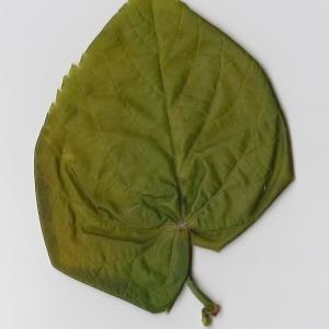 Photographie n°99011 du taxon Tilia platyphyllos Scop. [1771]