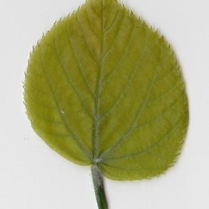 Photographie n°99016 du taxon Tilia platyphyllos Scop. [1771]