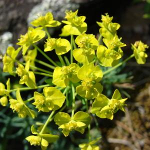 Euphorbia cyparissias L. (Euphorbe faux cyprès)