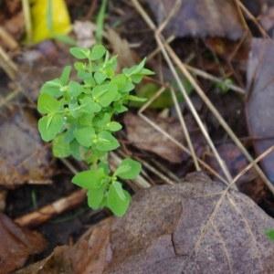 Photographie n°99039 du taxon Euphorbia peplus L. [1753]