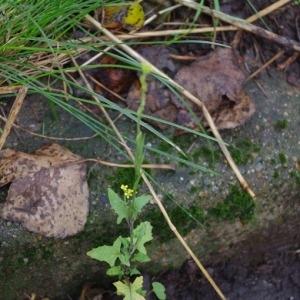 Photographie n°99044 du taxon Sinapis arvensis L.