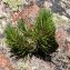 liliane Pessotto - Pinus mugo subsp. uncinata (Ramond ex DC.) Domin