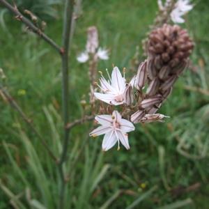 Photographie n°99066 du taxon Asphodelus ramosus L.