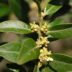 Photographie n°99113 du taxon Buxus sempervirens L.