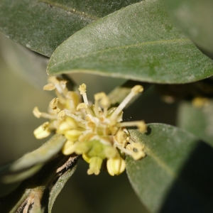 Photographie n°99116 du taxon Buxus sempervirens L. [1753]