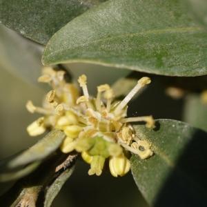 Photographie n°99117 du taxon Buxus sempervirens L. [1753]