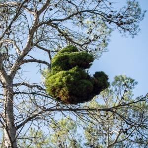 Photographie n°99143 du taxon Pinus halepensis Mill. [1768]