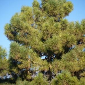 Photographie n°99206 du taxon Pinus pinaster subsp. pinaster
